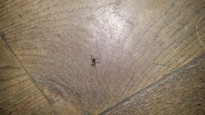 papryczki mucha