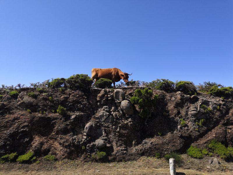 Krowy na Maderze